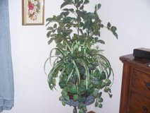 5 ft plant and beautiful silver wrought iron stand in Morris, Illinois