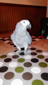 LOST African Grey in Camp Pendleton, California