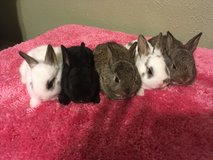 Mini Rex bunnies in Conroe, Texas