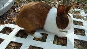 13 month old male Dutch bunnie for sale (3lb 15oz wt) in Fort Rucker, Alabama