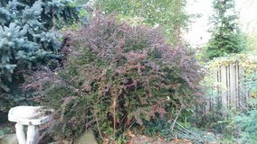 BARBARY BUSHES RED in Orland Park, Illinois