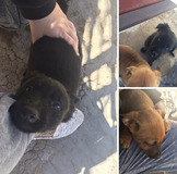Puppies posting for family member in Barstow, California