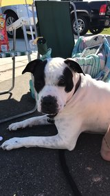 4 year old male American bulldog in Oceanside, California