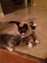 Lost! Snowshoe Siamese Cat in Kingwood, Texas