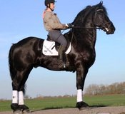 Two New Amazing FRIESIAN Geldings Showing 2nd Level/SAFE for Novice Riders!For Sale in Bamberg, Germany