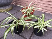 Small Spider Plant (one available) in Okinawa, Japan