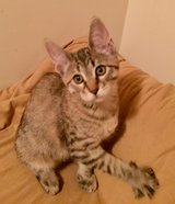 Mainecoon 50% Kittens! Ready Now! in Fort Rucker, Alabama