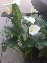 CALLA LILY in Travis AFB, California
