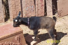 Goats- Blue eyes doeling and buckling buckskin color in Alamogordo, New Mexico