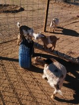 Nigerian dwarf goats in bookoo, US