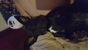 Rehoming chihuahua terrier mix in Schofield Barracks, Hawaii