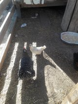 White Chicken & rooster in Alamogordo, New Mexico