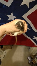 Pet Rats including hairles, plus breeding group in Byron, Georgia
