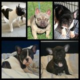 French bulldog puppies in Camp Pendleton, California