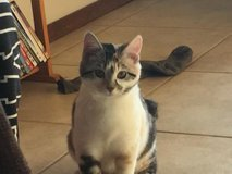 PETS NEED GOOD HOMES! Stormi, Cleo, and Mini! 2 Cats and a Dorkie! in Alamogordo, New Mexico