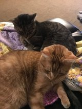 FREE Cats in Fort Carson, Colorado
