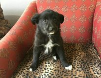 Our Male and Female Border Collie Puppies in League City, Texas