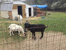 2 baby goats and 2 yr old billy in Byron, Georgia