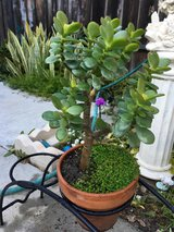 Nice Jade plant in Camp Pendleton, California