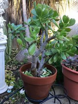 "Nice Jade plant in 8"" clay pot in Camp Pendleton, California"