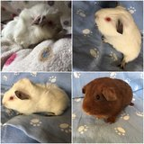 Guinea pig babies in Naperville, Illinois