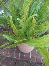 Ferns in Beaufort, South Carolina