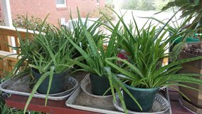 Aloe Plants in Warner Robins, Georgia