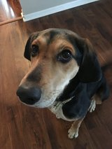 1 yr old female Hound - Dixie in Aurora, Illinois