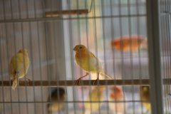 Canary birds, great singers in Kingwood, Texas