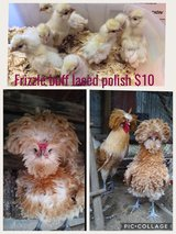 Chicks ?? for Sale ?? in DeRidder, Louisiana