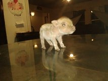 Miniature micro teacup pigs selling in Beaufort, South Carolina
