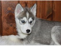 Twin Gorgeous Siberian husky puppies For New Homes in Honolulu, Hawaii