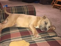 Looking a Home for My Female Pitbull Puppy. in Los Angeles, California