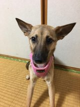 Bella is looking for a home! in Okinawa, Japan