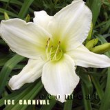 NEAR WHITE DAYLILY PLANTS 'ICE CARNIVAL' in Naperville, Illinois