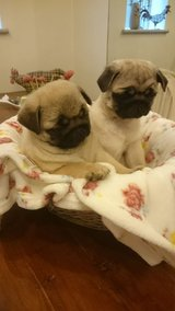 Pug Puppies Available Male & Female for Saie in Columbus, Ohio