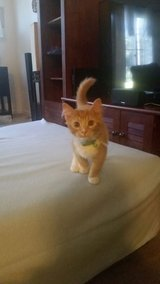 5 months old kitten looking for a new home in Fort Bragg, North Carolina