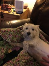 3 Yr Old Female West Highland Terrier in Ramstein, Germany