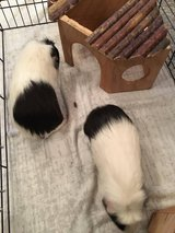 Not-So-Baby Guinea Pigs in Ramstein, Germany