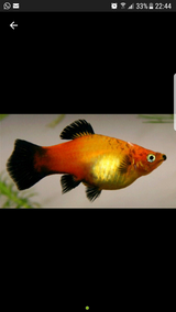 Free fishs ( Mollys and Platys) in Ramstein, Germany