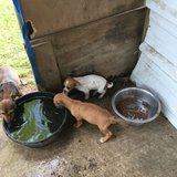 Chihuahua puppies mix with Jack Russell there's seven weeks in Huntsville, Texas