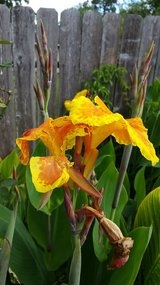 Canna Lily's orange and yellow in Spring, Texas