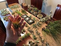 TONS of Airplants in Vacaville, California