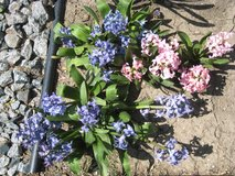 20 hyacinths, pink and blue -  must take all in Lockport, Illinois