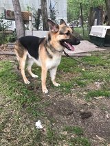 Male German Shepherd in Lake Charles, Louisiana