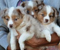 blue merl australian shepherd puppies ready to go to a new found family in Columbus, Ohio