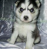 pure bred siberian husky puppies for adoption in Columbus, Ohio