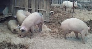 Feeder pigs in Fort Knox, Kentucky