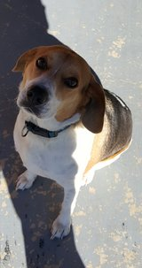 Four year old Medium Beagle in Leesville, Louisiana