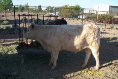 Two grass fed beef steers in Alamogordo, New Mexico